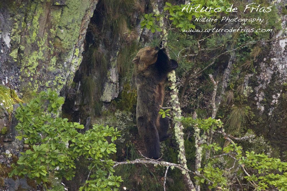 Bear Climbing Tree