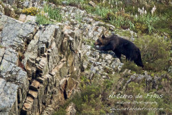 Male Bear in hot pursuit