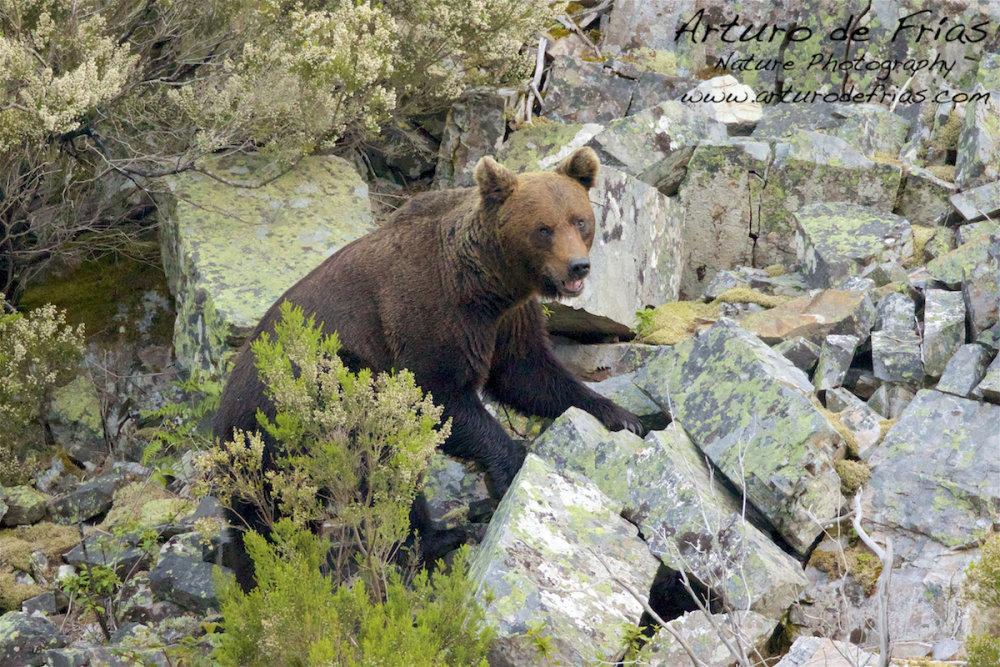 Male Bear close portrait