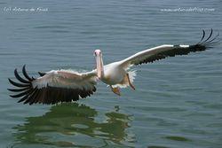 Pelican skimming