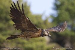 Young Lammergeier in Flight