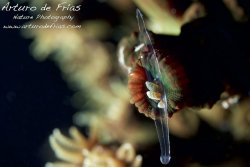 Black Sun Coral feeding