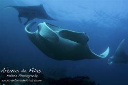 Giant Manta Ray