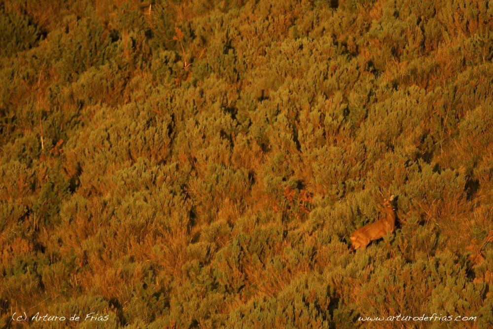 Roe Deer in Red Light
