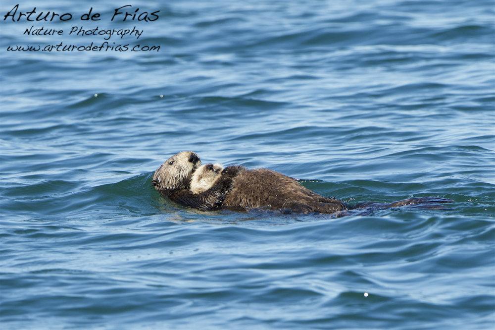 Sea Otter mum holding baby