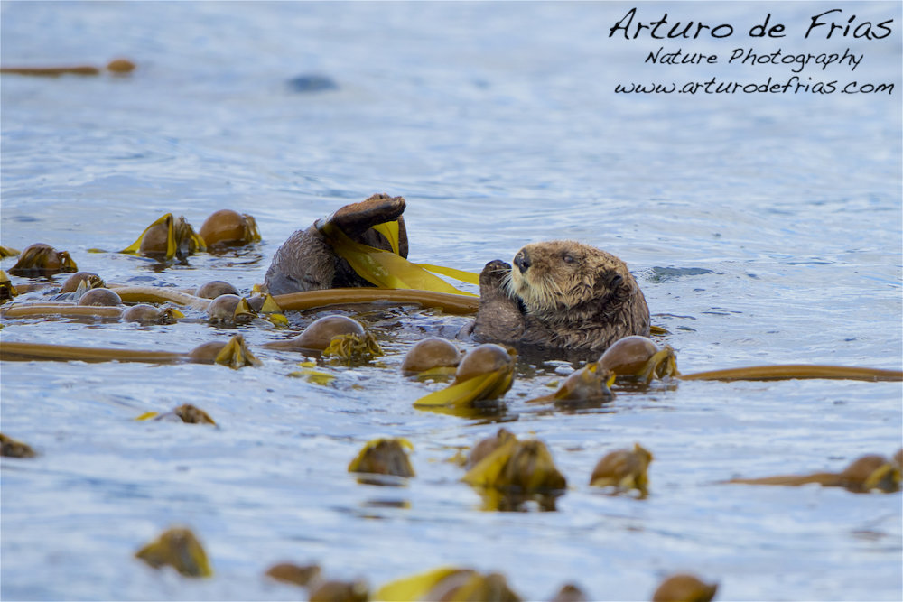 Sea Otter moored to Giant Kelp