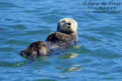 Cuttest Sea Otter