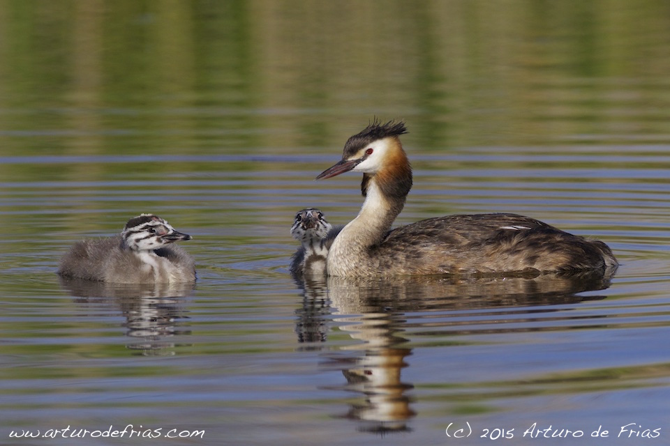 Crested Grebe and Chicks