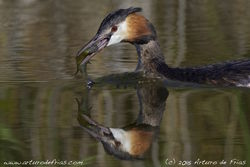 Crested Grebe Fishing
