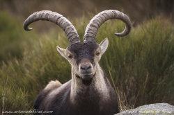 Ibex Male Closeup