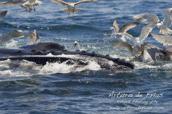 Humpback Feeding Close 2