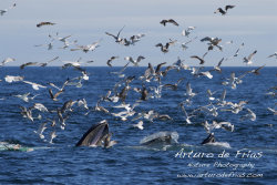 Three Humpbacks Feeding