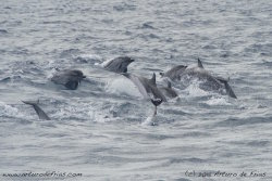 Striped Dolphins at top speed