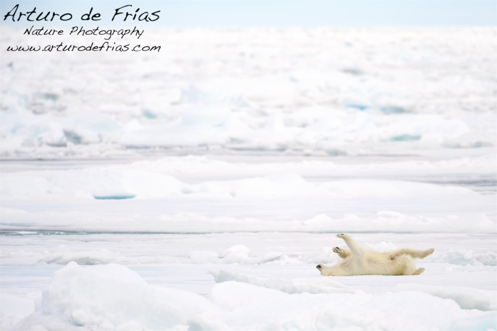 Polar Bear enjoying life