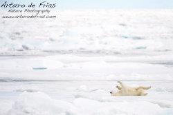 Polar Bear enjoying life