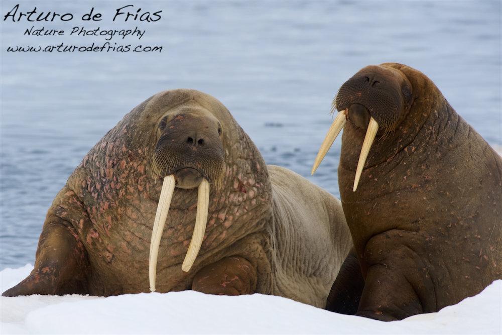 Walruses resting