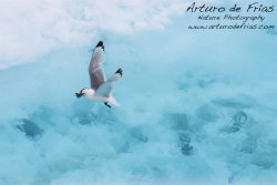 Kittiwake catching Arctic Cod