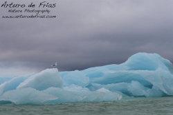 Blue Iceberg and Gull