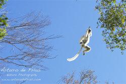 Verreaux's Sifaka in flight