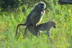 Baboon Sex