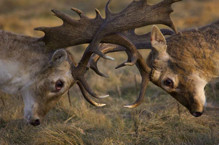 Fallow Deer fight