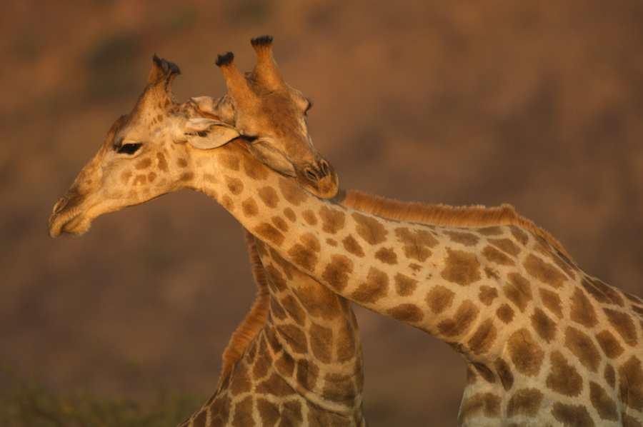Giraffe males necking