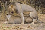 Lions mating