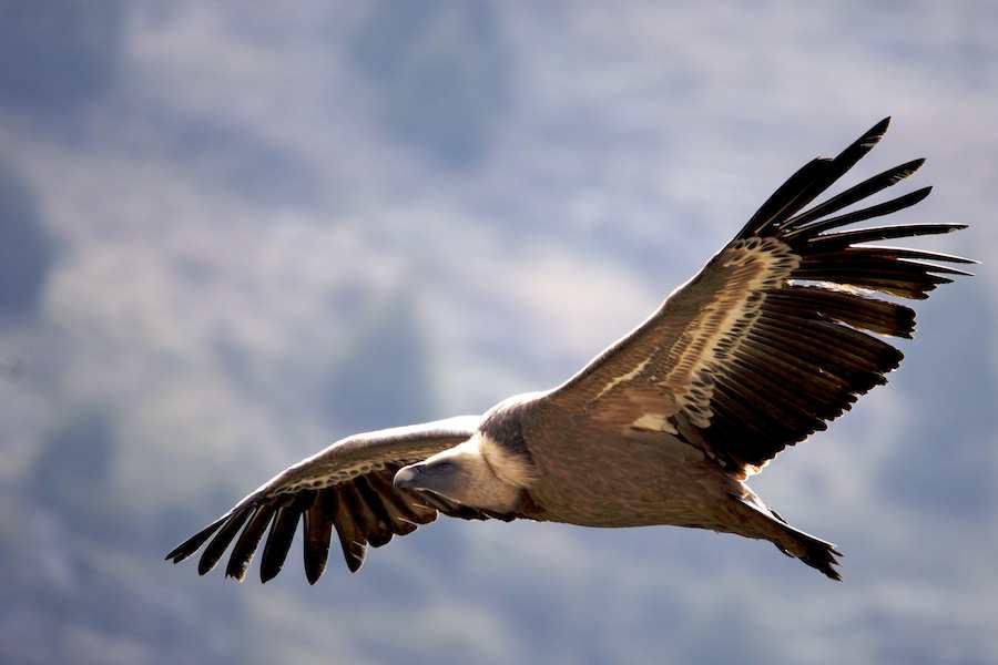 Griffon in flight