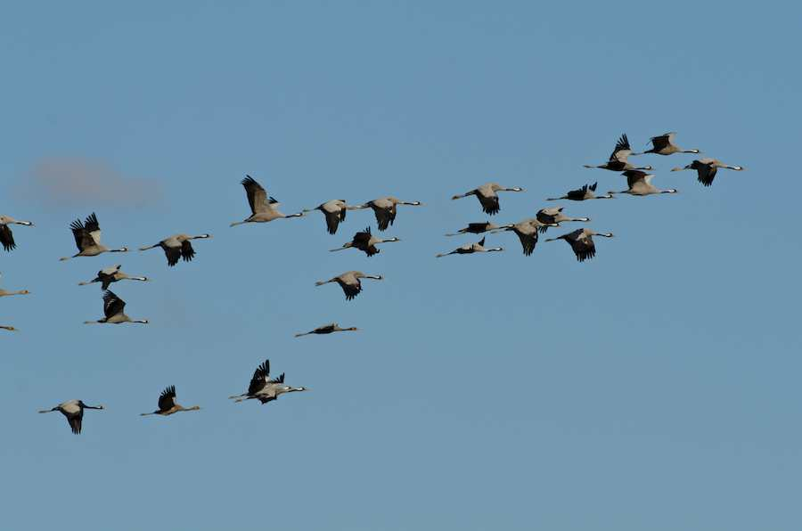 Common Cranes migrating South