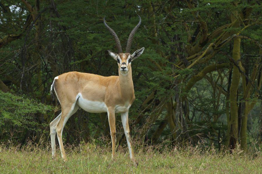 Grant´s Gazelle