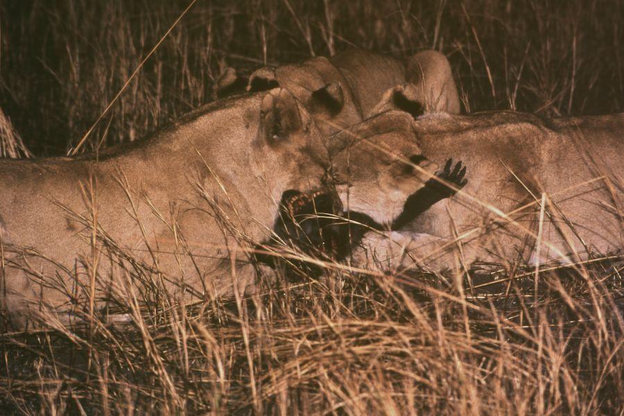Lions killing baboon