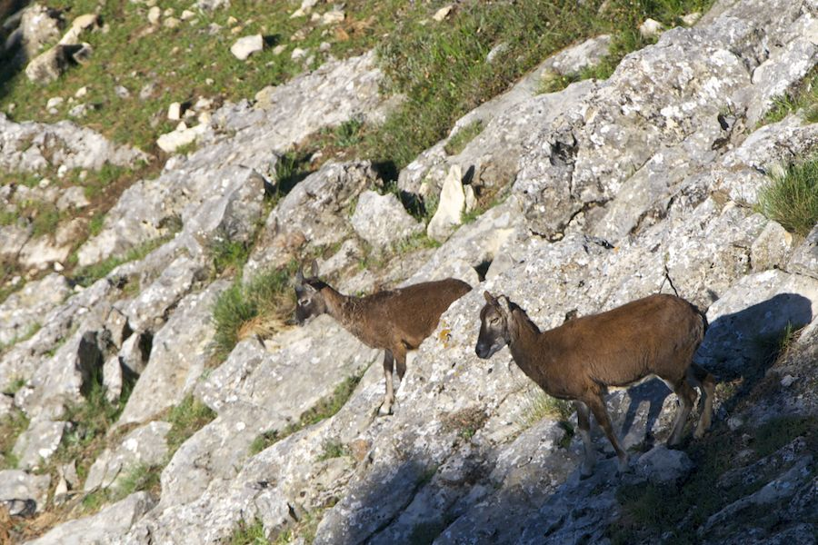 Mouflon female and calf