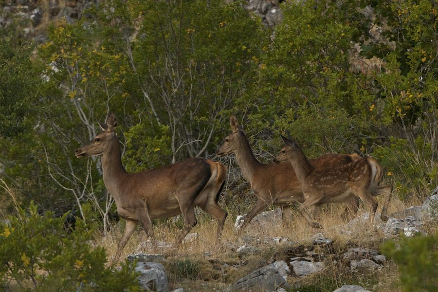 Red Deer hinds and fawn