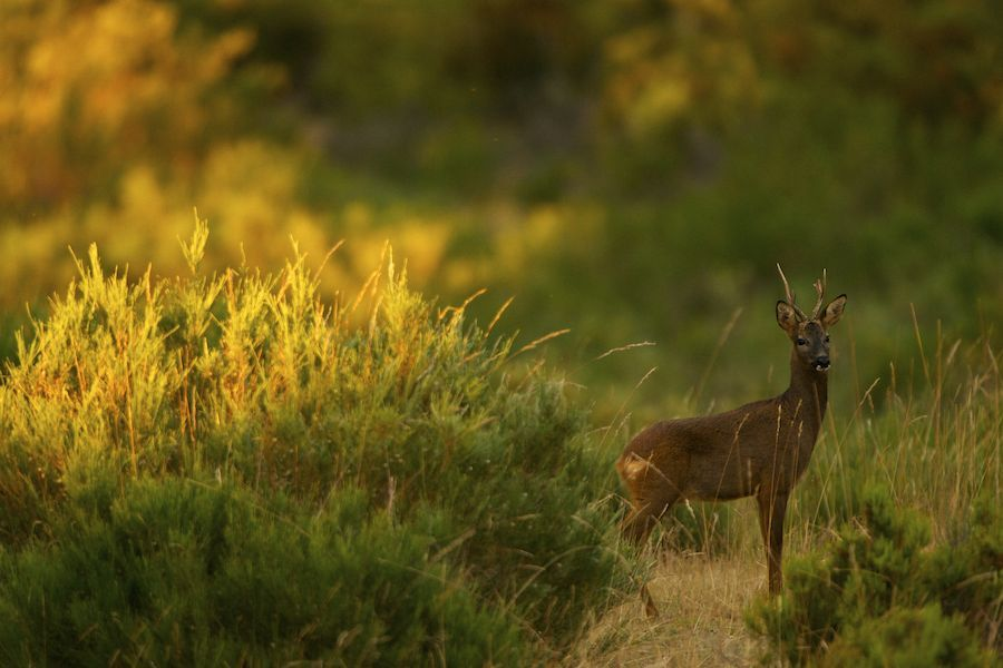 Roe Deer in Yellow Light