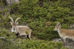 Spanish Ibex Male