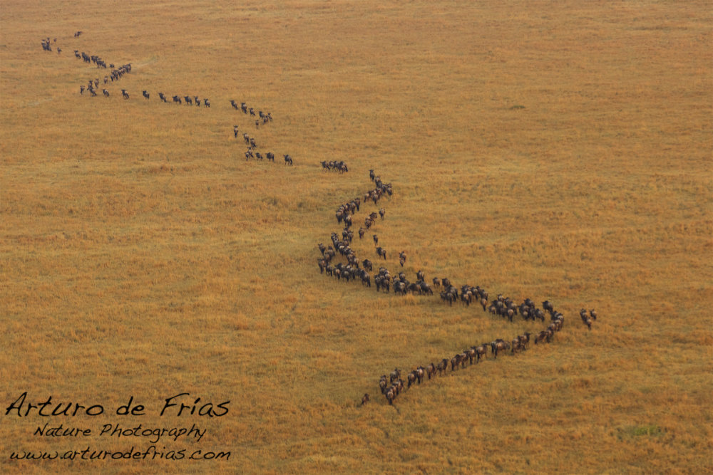 Herd from the air