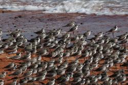 Broome shorebirds