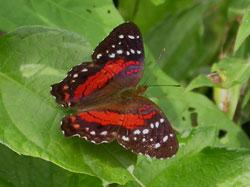 Red Anartia