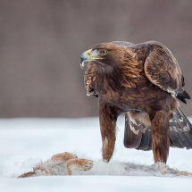 01 MP272 Golden Eagle and Hare