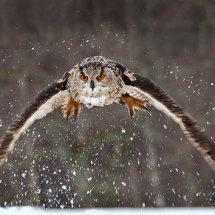 04 MP272 Eagle Owl Hunting