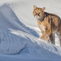 05 MP272 Puma  Stalking its Prey