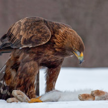 17 MP272 Golden Eagle with Kill