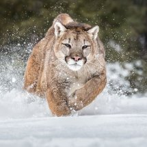 18 MP272 Puma in Deep Snow