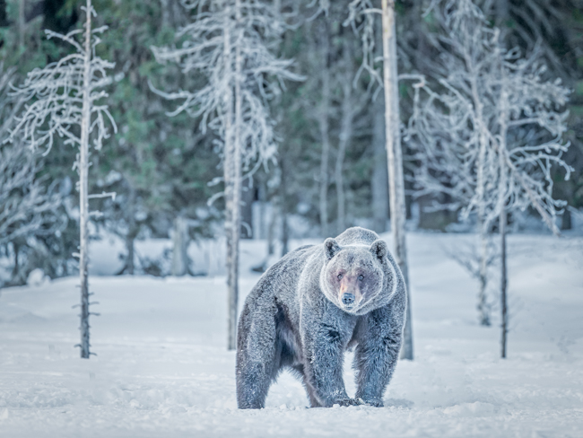 Bear in the Snow 2