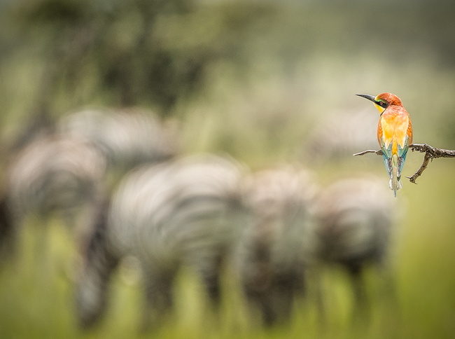 Bee Eater and Zebra