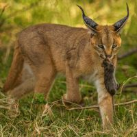 Caracal-with-Mouse