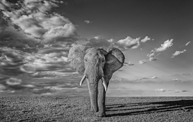Elephant 1 mono