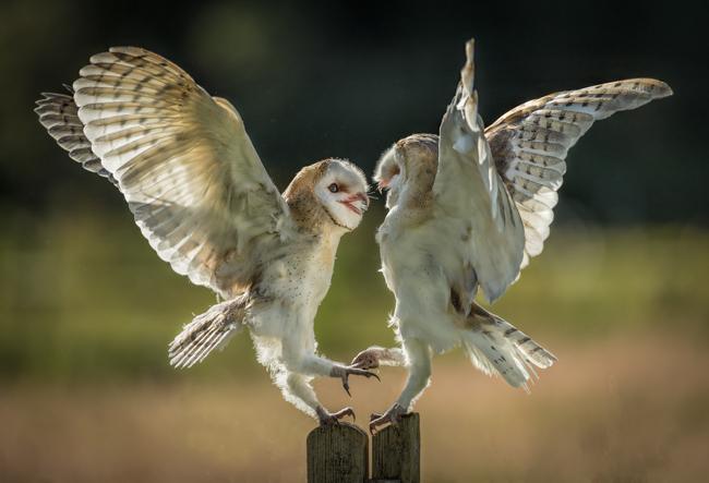 Fighting barn Owls