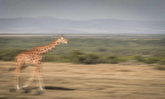 Giraffe 1 (2)