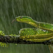 Green  Parrot  Snake
